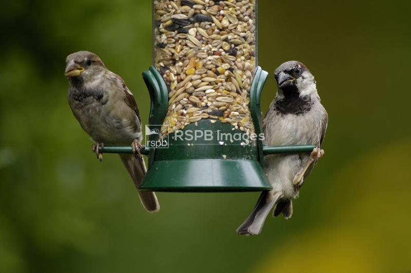 House sparrows, Passer domesticus, adult male on right, juvenile male on le ...
