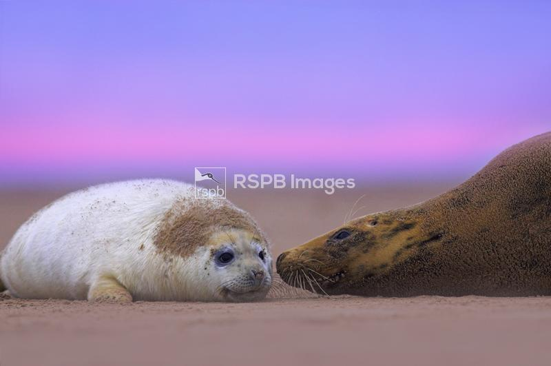 Grey seal, halichoerus grypus, mother and pup on beach at dawn, Linolnshire ...
