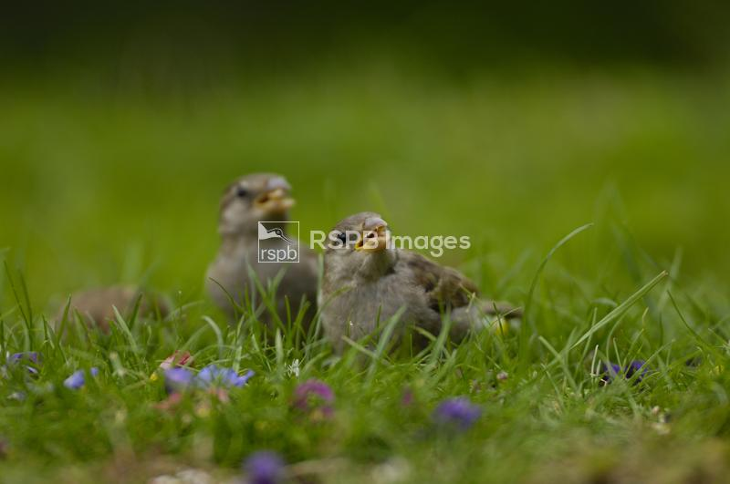 House sparrow Passer domesticus, young birds feeding on garden lawn.  Co. D ...