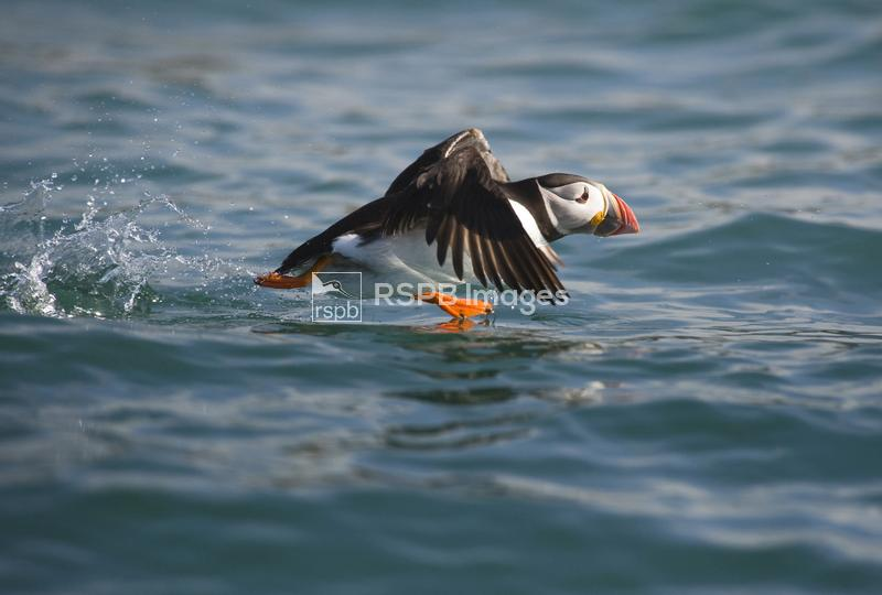Puffin (Fratercula arctica) running over the sea, Aberdaron, Wales, April 2 ...
