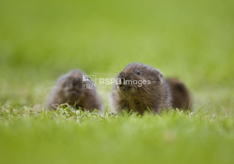 Water vole Arvicola amphibius Three baby water voles emerge cautiously to f ...