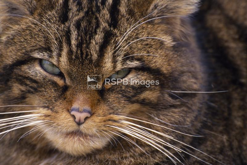 Scottish Wildcat Felis silvestris, semi habituated female living wild in na ...