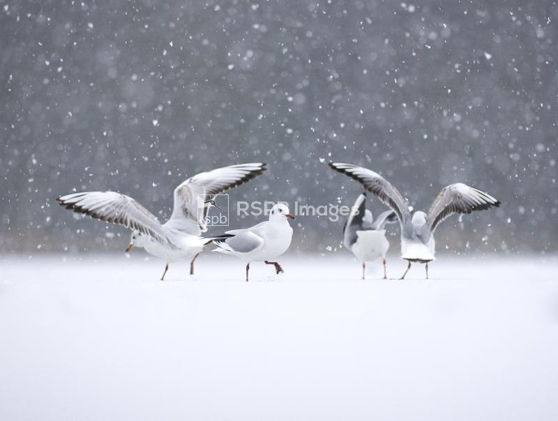 Black-headed gull Larus ridibundus, small group of adults in winter plumage ...