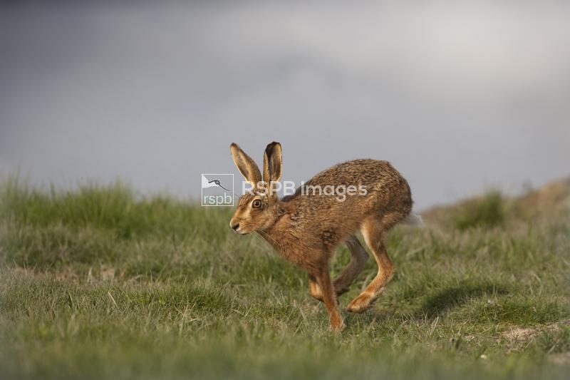 Brown Hare Lepus europaeus, running, Norfolk ...