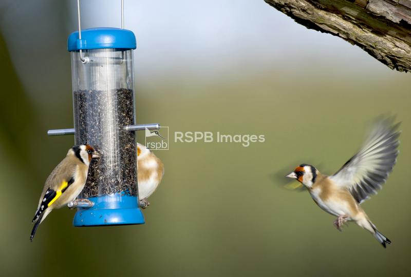 Goldfinch Carduelis carduelis, feeding from a garden feeder, Co. Durham, No ...