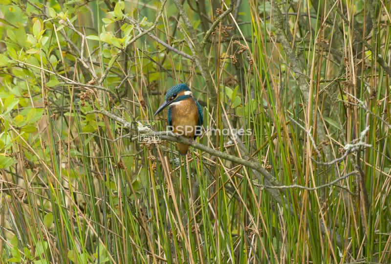 Kingfisher Alcedo atthis, perched on a branch in amongst reeds, Co. Durham, ...