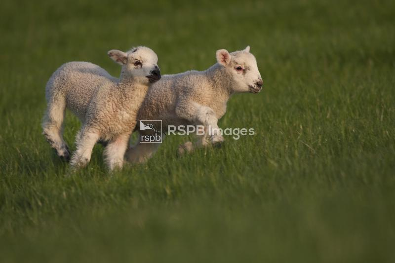 Lambs Ovis aries, racing across a field on a spring afternoon, Dorset, Apri ...