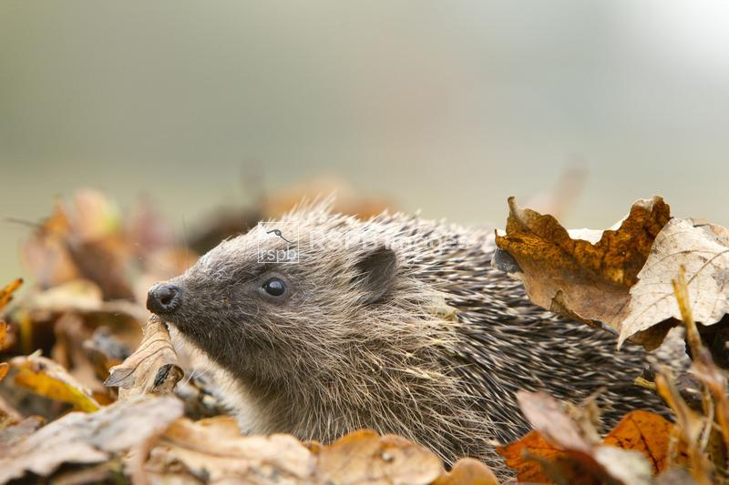 Hedgehog Erinaceus europaeus, foraging amongst leaves in garden environment ...