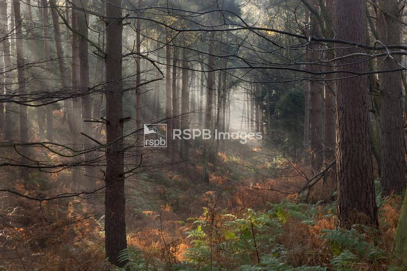 Mixed woodland and early morning mist, Felbrigg Woods, Norfolk, UK, early N ...
