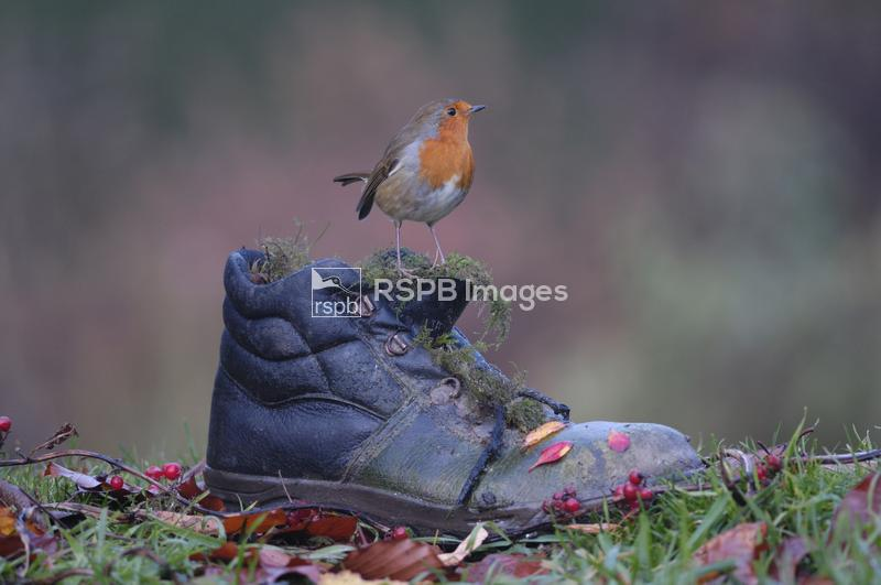 Robin Erithacus rubecula, perched on old boot with autumn leaves, Co Durham ...