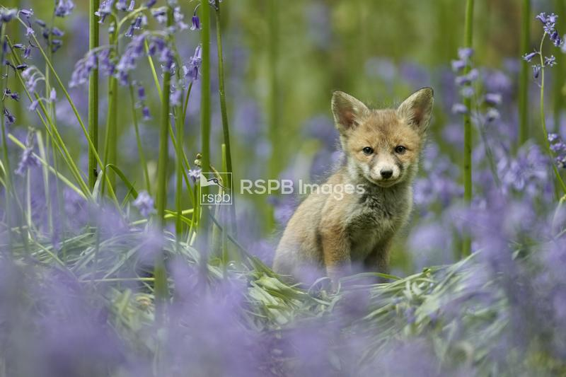 Red fox Vulpes vulpes, cub sitting among bluebells, Derbyshire, UK, May ...