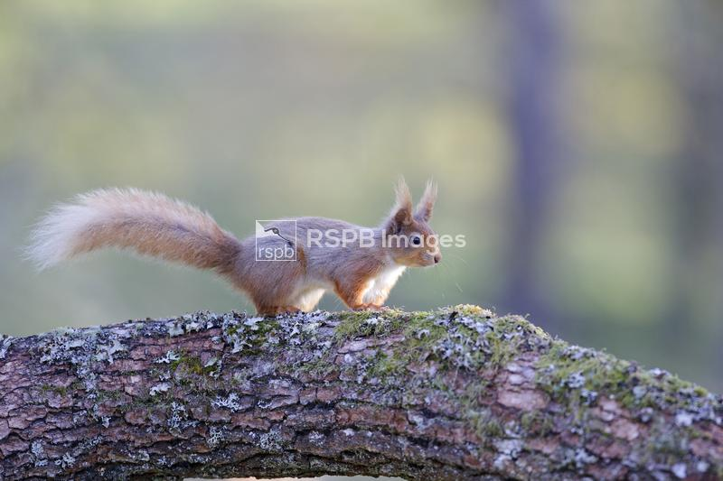 Red squirrel Sciurus vulgaris, Speyside, Scotland, April ...