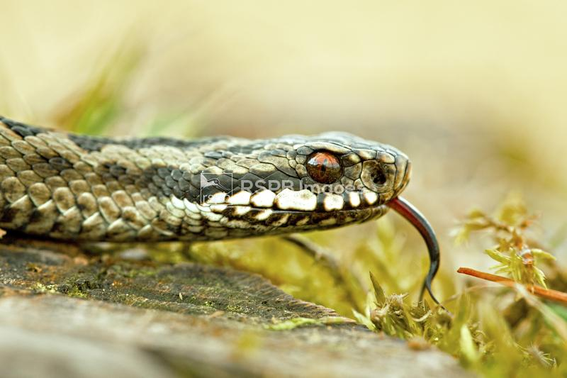 Adder Viperus berus, male on heathland showing tongue flicking, Forest of D ...