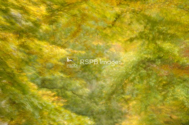 Soft focus view of beech leaves in autumn, Ashridge Forest, Hertfordshire,  ...