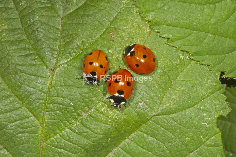 Seven-spot ladybirds Coccinella septumpunctata, three on leaf, meeting over ...
