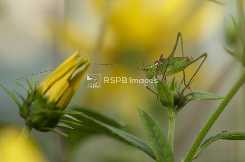 Speckled bush-cricket Leptophyes punctatissima, among yellow daisies in sub ...
