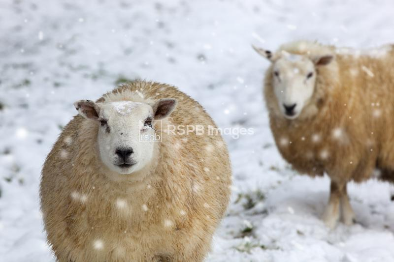 Sheep, two ewes in snow storm, Norfolk, January ...