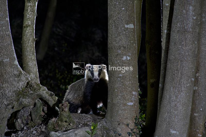 Badger Meles meles, in woodland at night - attracted by peanuts, Wales, Apr ...