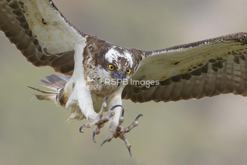Osprey Pandion haliaetus, adult male in flight with talons outstretched, Ca ...
