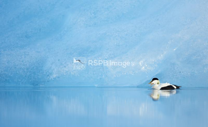 Eider Somateria mollissima, male swimming and calling in glacial lagoon in  ...