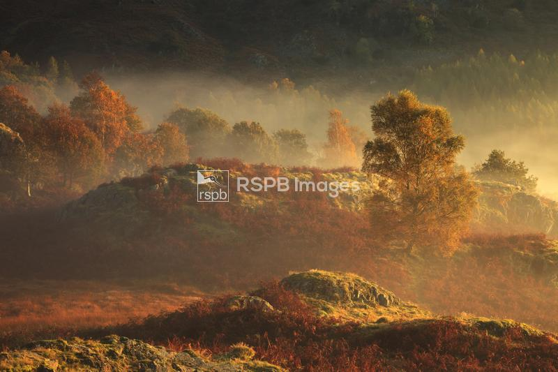 Autumn mist and light on White Moss Common, Rydal, Lake District, England,  ...