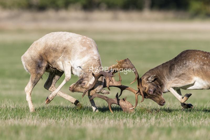 Fallow deer Dama dama, 2 adult male bucks fighting with antlers locked duri ...
