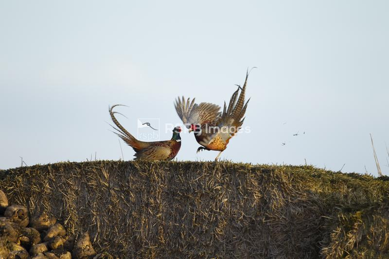 Pheasant Phasianus colchicus, two males fighting on haybales, Cambridgeshir ...