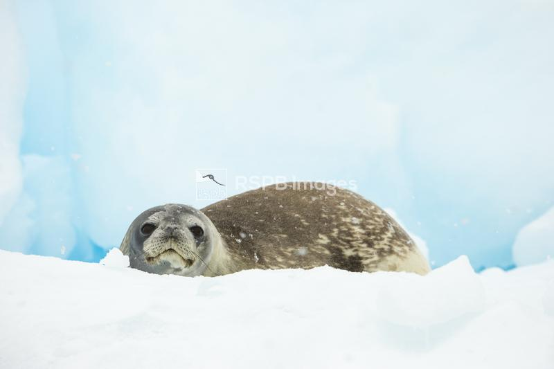 Weddell seal Leptonychotes weddellii, hauled out on iceberg, Neko Harbour,  ...