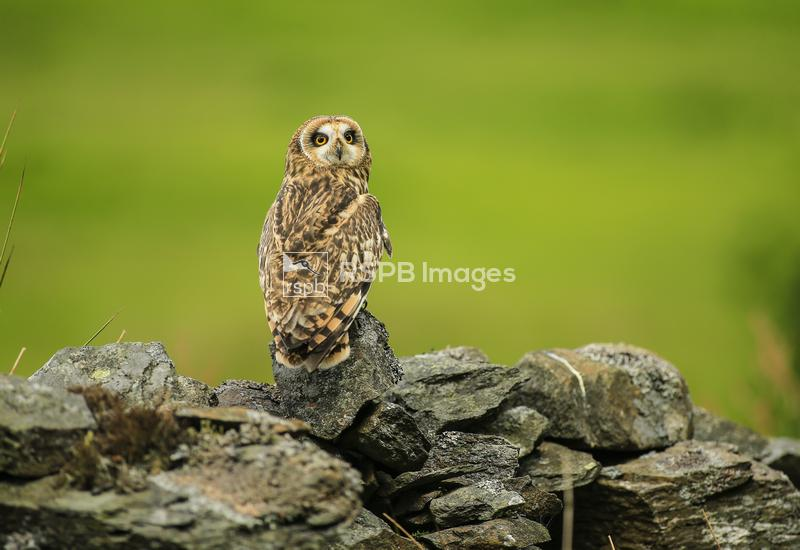 Short-eared owl Asio flammeus, perched on rock, looking over shoulder, (c), ...