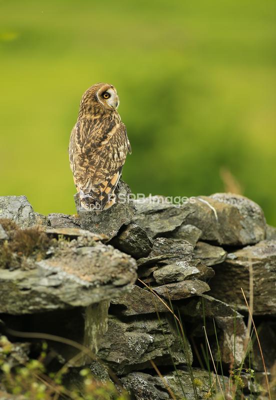 Short-eared owl Asio flammeus, perched on wall (c), April ...