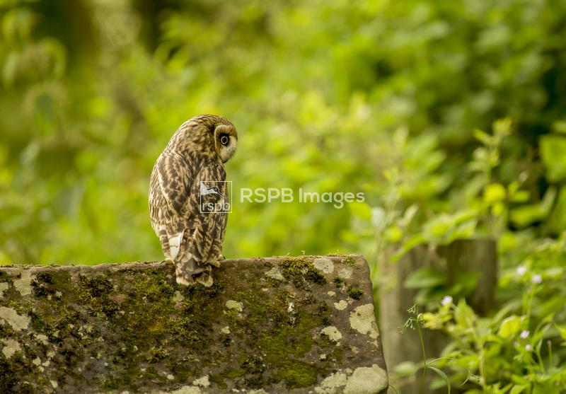 Short-eared owl Asio flammeus, perched on wall looking down (c), April ...