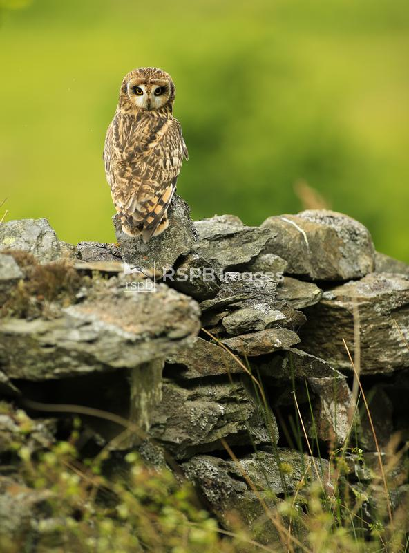Short-eared owl Asio flammeus, looking over shoulder perched on wall, (c),  ...