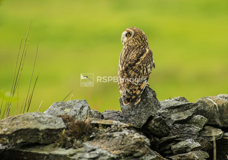 Short-eared owl Asio flammeus, looking to left, (c), April ...