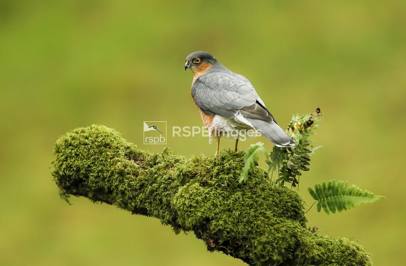 Sparrowhawk Accipiter nisus, male perched on mossy branch, Scotland, UK, Oc ...