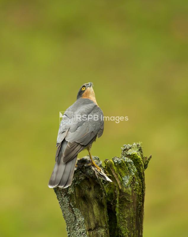 Sparrowhawk Accipiter nisus, male perched on post, feeding on small bird, w ...