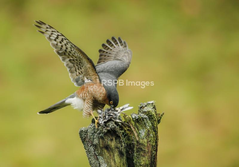 Sparrowhawk Accipiter nisus, male perched on post, feeding on small bird, S ...