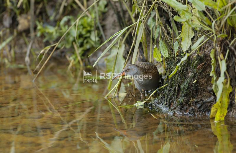 Water rail Rallus aquaticus, feeding on edge of the bank, Scotland, UK, Nov ...