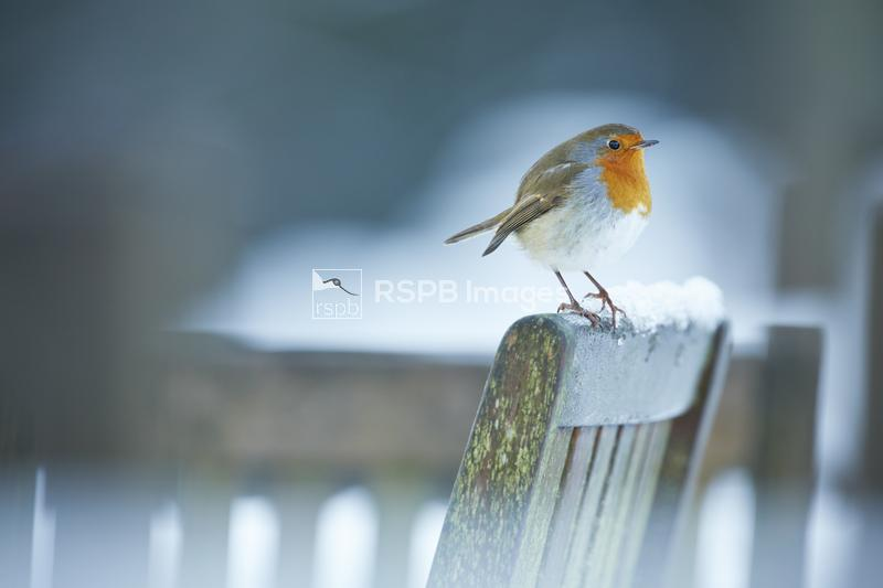Robin Erithacus rubecula, Adult, Perched on a garden chair, Peak District N ...