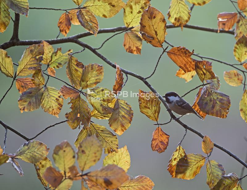 Coal tit Periparus ater, among autumnal Beech leaves, Norfolk, England, Nov ...