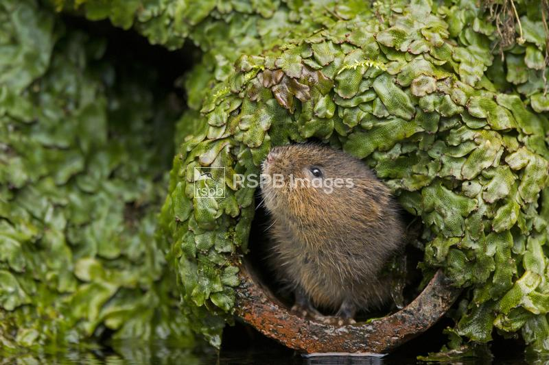 Water vole Arivcola amphibius ,looking up out of pipe, Kent, England, Janua ...