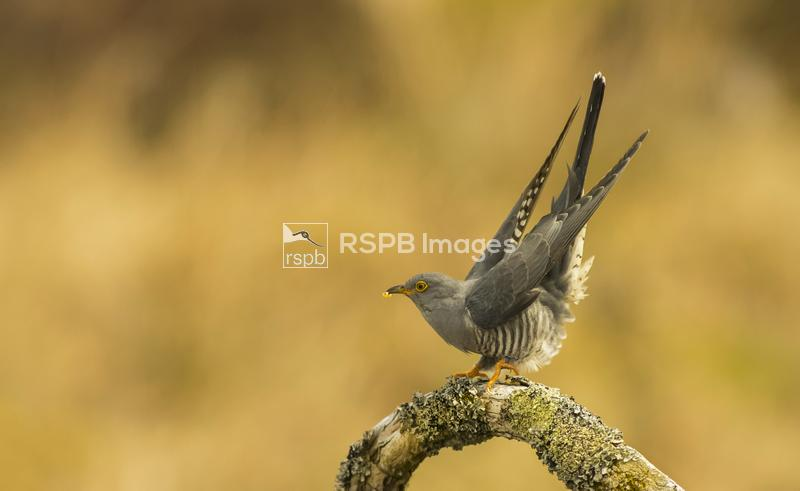 Cuckoo Cuculus canorus, perched with tail up displaying, Scotland, May ...