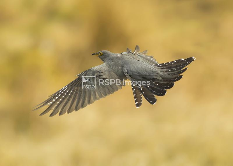 Cuckoo Cuculus canorus, inflight, Scotland, May ...