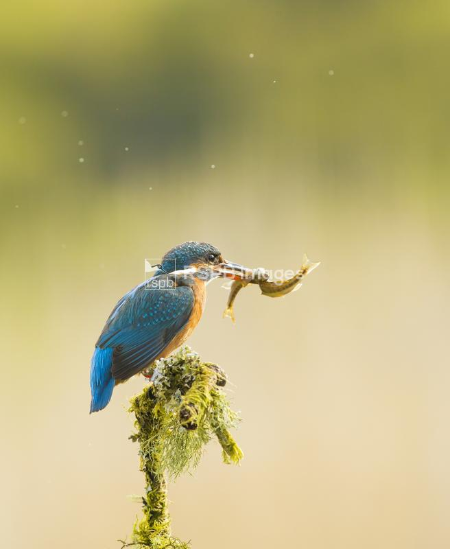 Kingfisher Alcedo atthis, on mossy perch with two fish in beak, Scotland, J ...
