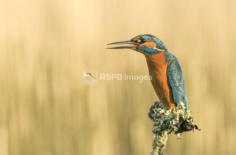 Kingfisher Alcedo atthis, territory display, Scotland, December ...