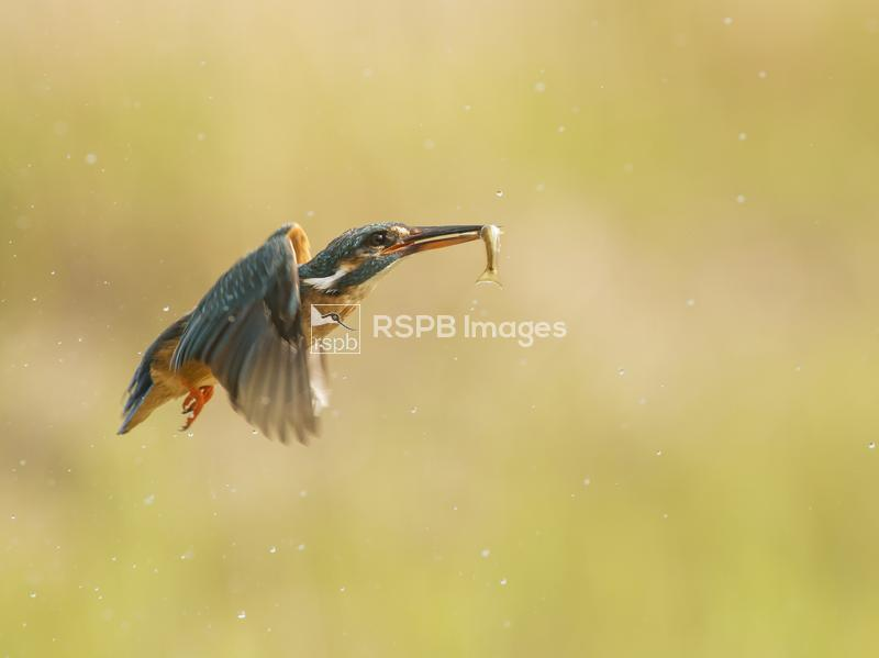 Kingfisher Alcedo atthis, female catching a fish, Scotland, June ...