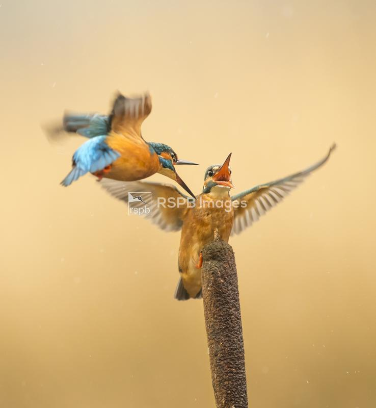 Kingfishers Alcedo atthis, females engaged in territory dispute on bulrush, ...