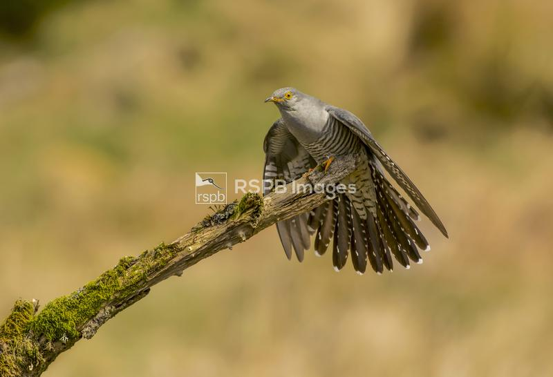 Cuckoo Cuculus canorus, perched on branch with faned tail, Scotland, May ...