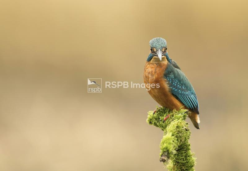 Kingfisher Alcedo atthis, on a perch and looking at the lens, Scotland, Sep ...