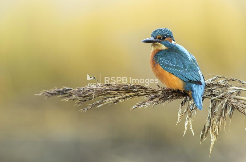 Kingfisher Alcedo atthis, male perched on reed head grass, Scotland, Decemb ...