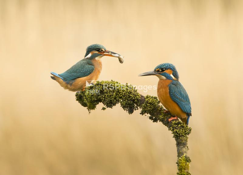 Kingfisher Alcedo atthis, exchanging fish on perch, Acotland, March ...